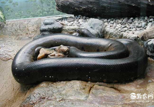绿水蟒 生活在南美洲热带地区的绿水蟒同样是世界上最大的蛇,成年的绿水蟒可以长到10米以上,虽然它的长度也许比网纹蟒要短,但是其超粗的体型以及惊人的重量让它成为了世界上最大的蛇,这种蛇的眼睛长在它的头顶上,是为了其在水下移动时便于观察,成年的绿水蟒可以很容易的缠住并吃掉一条一米多长的凯门鳄,也曾有吃掉美洲虎的记录,绿水蟒是卵胎生的蛇类,生下的幼蛇每条就有60厘米长,巨大的体形,惊人的力气,恐怖的攻击性,让绿水蟒雄踞在亚马逊从林的食物链顶端傲视一切。 看完了世界上最大的蛇,下面小编在为大家介绍一下世界上最大