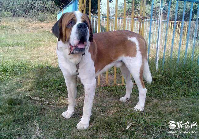 世界上最大的狗都是哪些品种的?