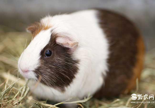 荷兰猪怎么养才能养好呢?