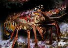 1米长锦绣龙虾卖60万