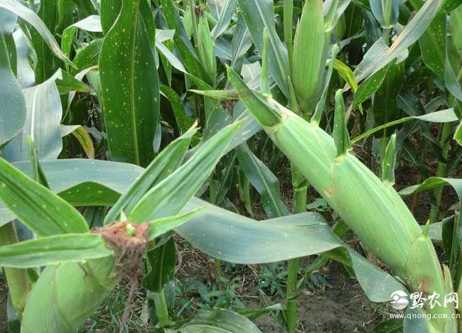 辨别转基因玉米的方法