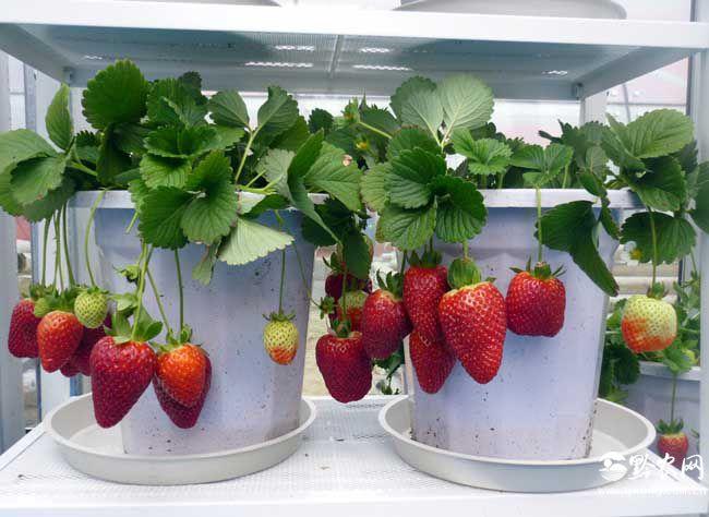 阳台草莓如何种植?
