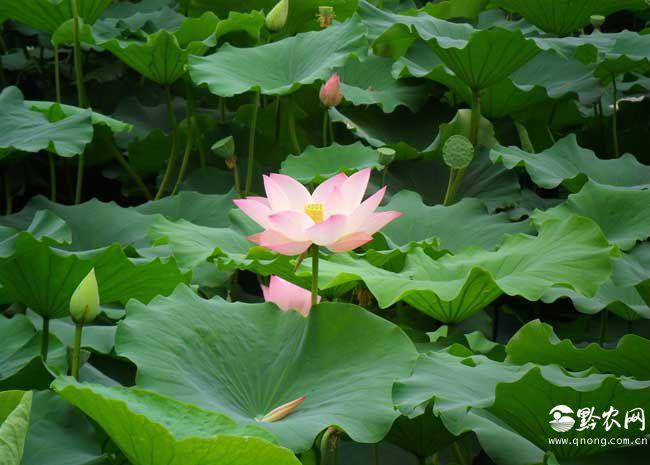 荷花和莲花是一种植物吗?