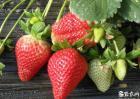大棚草莓怎样种植?
