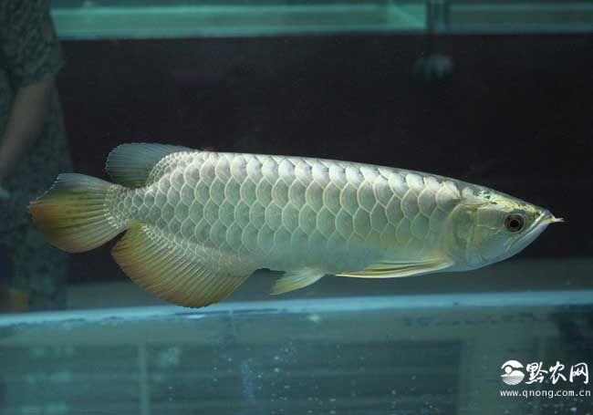 龙吐珠鱼和金龙鱼的区别