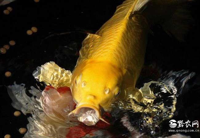 黄金锦鲤图片