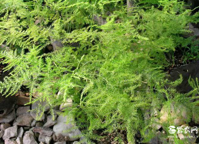 文竹的花语是什么?