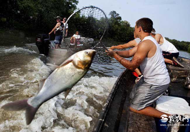 亚洲鲤鱼在美国泛滥成灾