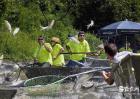 亚洲鲤鱼在中国为什么没有泛滥呢?