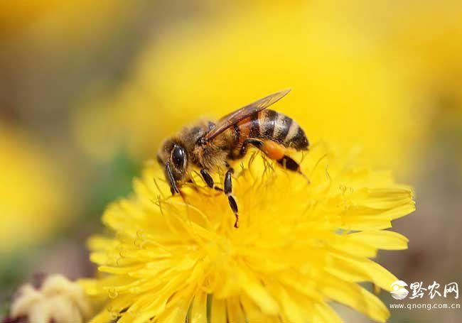 有哪些赞美蜜蜂的诗句?