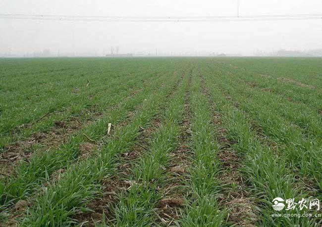 小麦出苗后可用哪些除草剂?