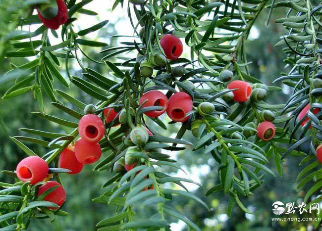 紅豆杉的養殖方法和注意事項
