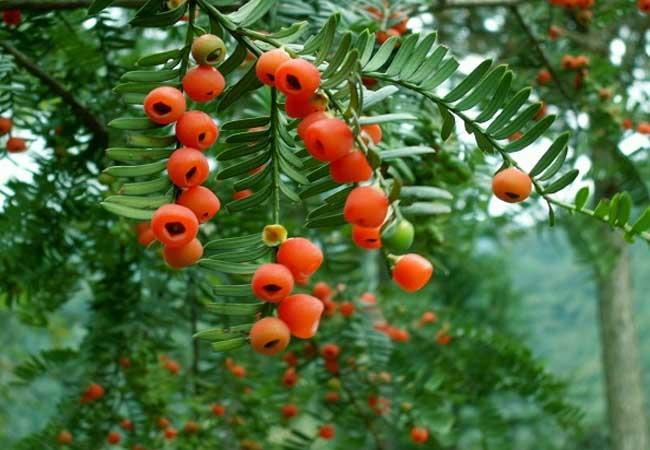 红豆杉树市场价格