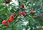 红豆杉的养殖方法和注意事项