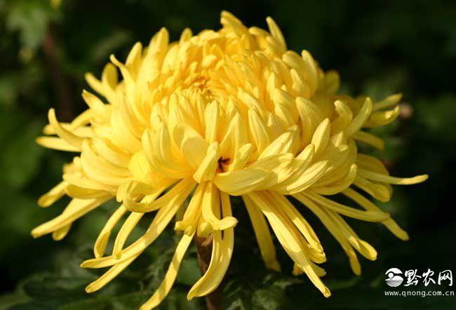 金银花和菊花可以一起泡水喝吗