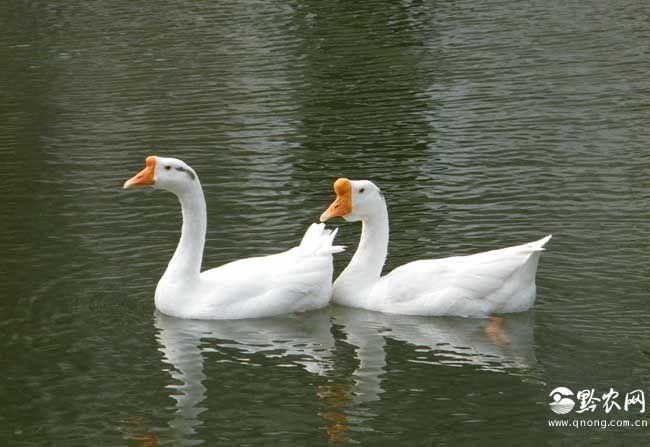 鹅和鸭的区别有哪些?