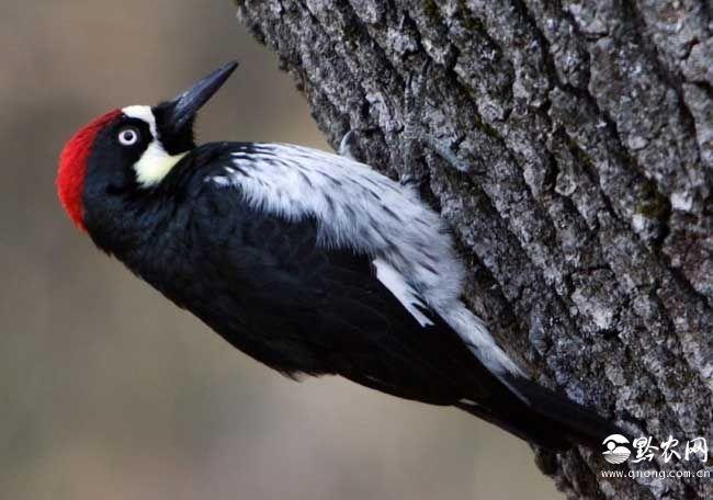 啄木鸟尾巴的作用