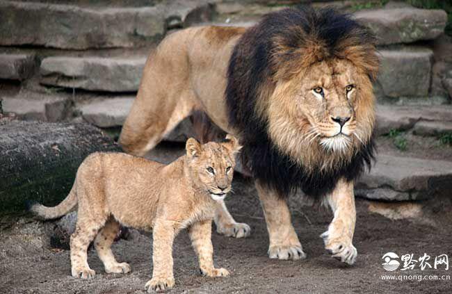 狮尾巴的作用