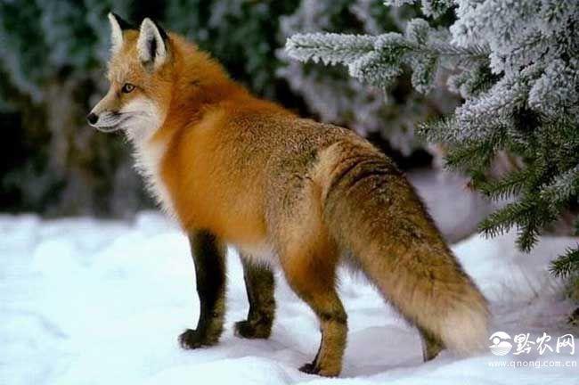 狐狸尾巴的作用
