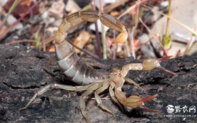 蝎子尾巴的作用