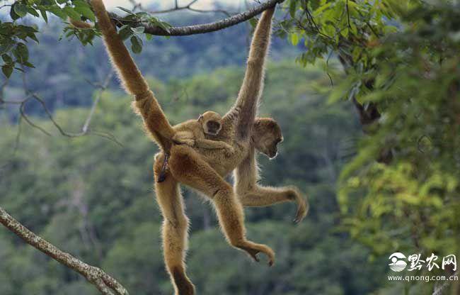 猴子尾巴的作用