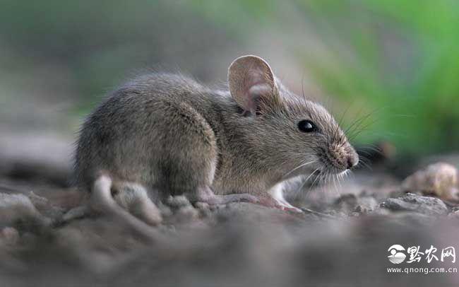 家鼠尾巴的作用