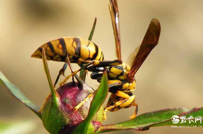 马蜂尾巴的作用