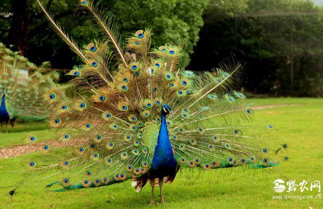 孔雀尾巴的作用