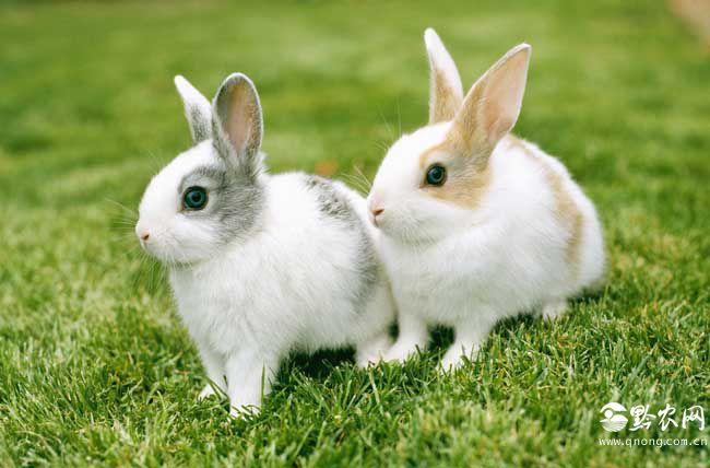 兔子尾巴的作用