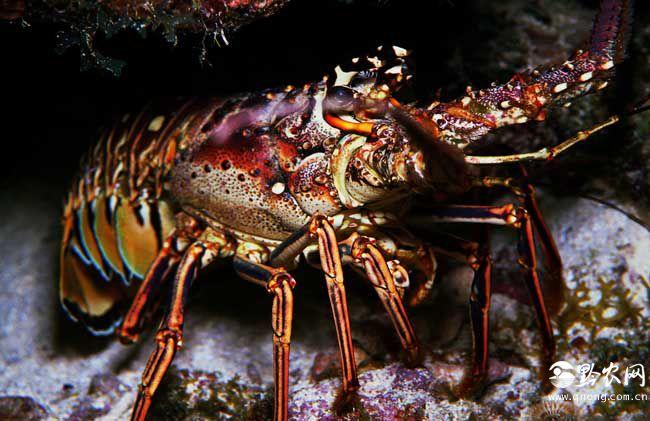 最大的龙虾