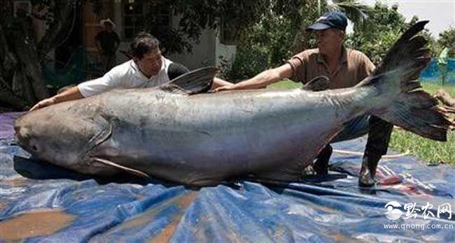 最大的鲶鱼