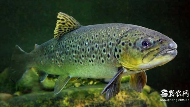 最大的鲑鱼