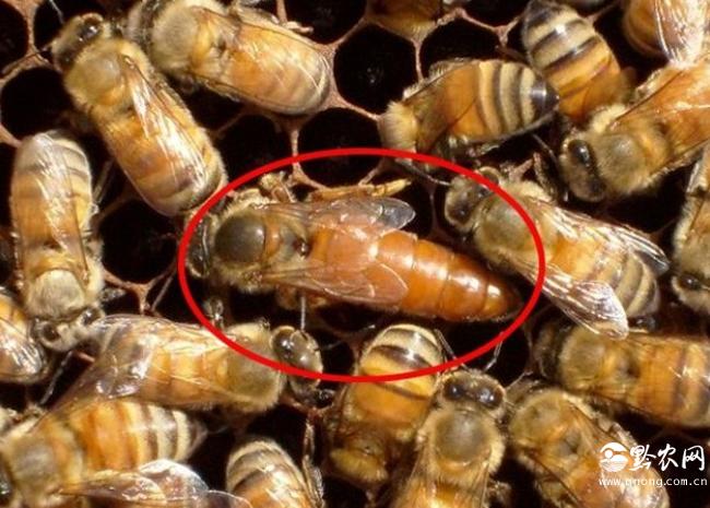 蜂王的寿命
