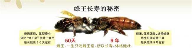 蜂王长寿的秘密