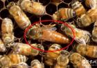 蜂王的寿命有多长?