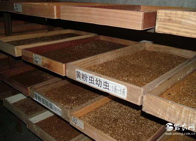 黄粉虫养殖技术