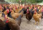 土鸡养殖技术视频