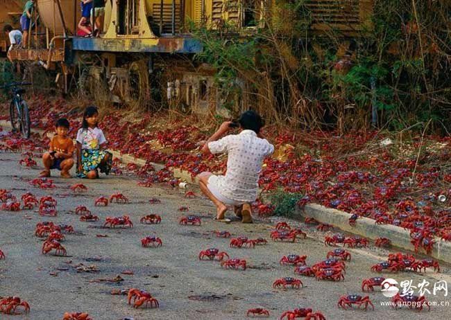 数千万只澳洲红蟹集体大迁徙