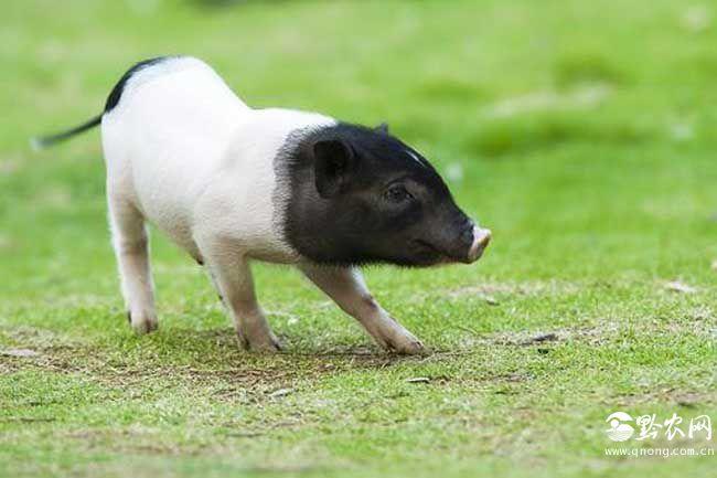 宠物猪的图片