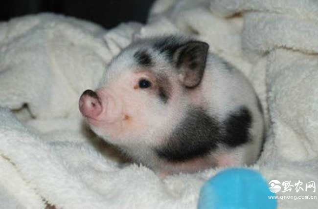 宠物猪的图片图片