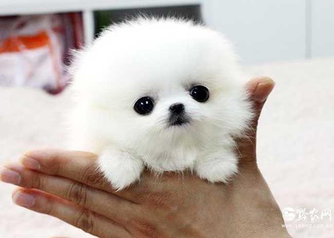 """茶杯犬起源于美国是一种高级宠物犬,体型在8英寸以下,体重低于4磅,微小茶杯贵宾犬体型更小,俗称""""娇小""""贵宾犬或""""口袋""""贵宾犬,标准是7英寸以下,体重低于3磅。"""