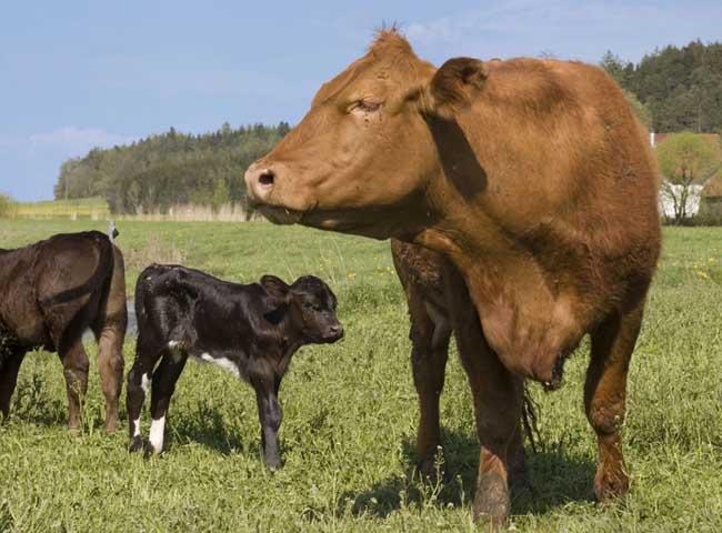 牛的种类有哪些?