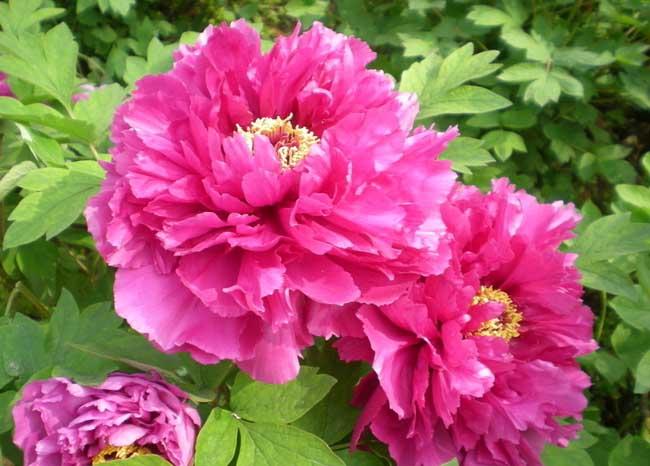 牡丹花的特点是什么?