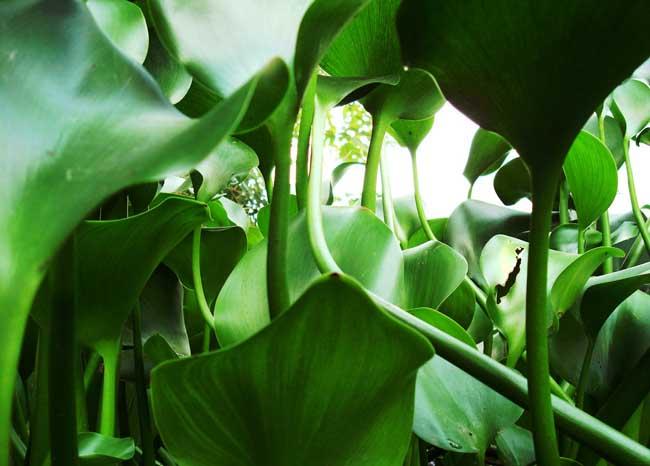 水葫芦的危害与防治方法