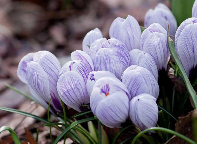 紫色郁金香的花语和故事传说