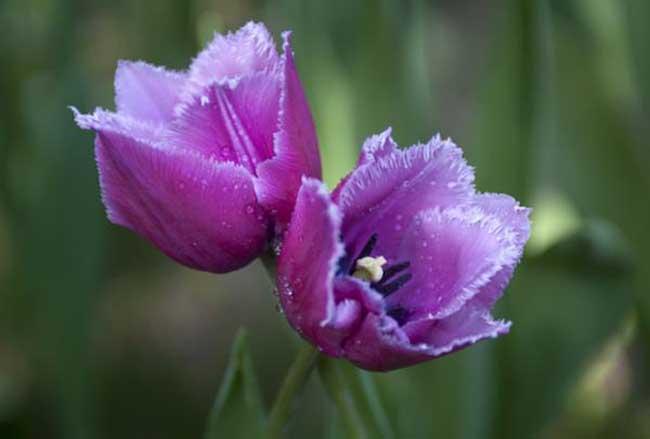 紫色郁金香图片