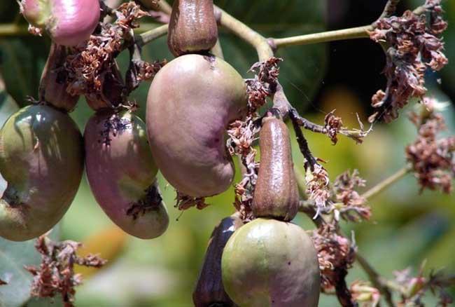 腰果及腰果树图片