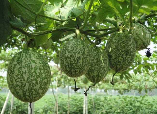 吊瓜子是什么