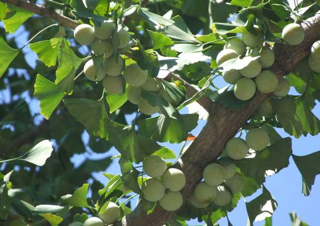 白果树图片欣赏