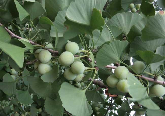 白果树图片